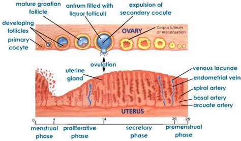 Irregular Shedding Of The Uterine Lining by Menstrual Cycle Phases Discharge Quotes