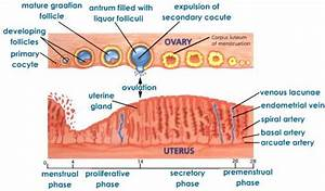 With Diagram Explain Menstrual Cycle