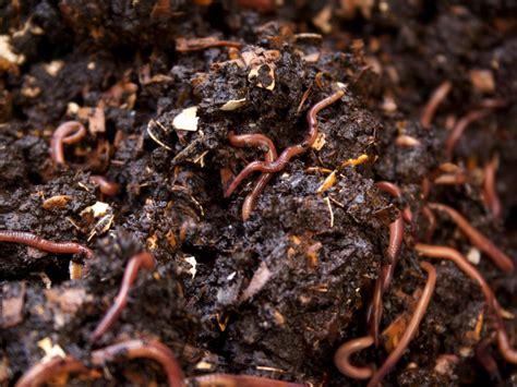 worms pupuk worm compost vermicomposting vermicompost wigglers organik yang ramah lingkungan hgtv outdoors hgtvhome sndimg