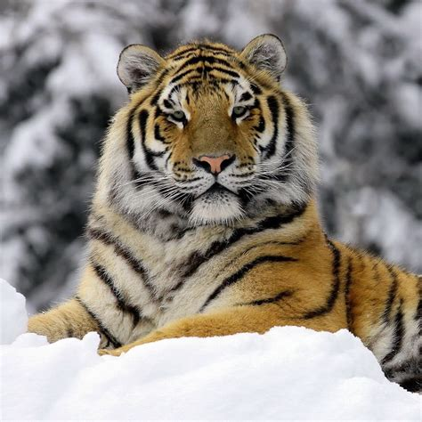 Images About Tigers Pinterest Beautiful
