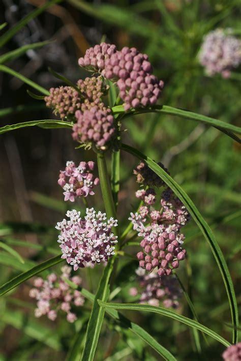 milkweed plants for asclepias fascicularis 7504