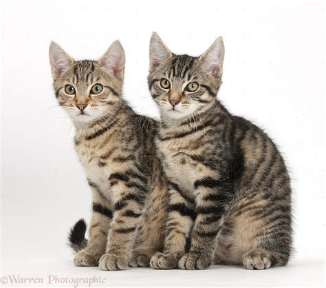 Tabby kittens sitting together photo WP35734