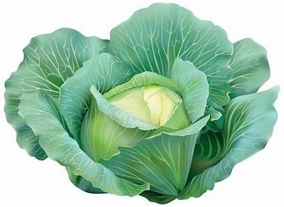 Cabbage Clipart Clip Transparent Vegetables Repolho Vegetal