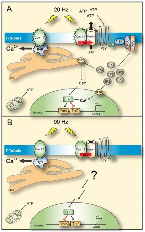 Cav1.1 controls frequency-dependent events regulating