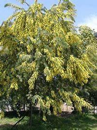 Mediterrane Bäume Winterhart : akazie acacia g nstig in top baumschulqualit t kaufen ~ Frokenaadalensverden.com Haus und Dekorationen