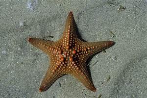 Etoile De Mer Dofus : photo madagascar anakao toile de mer orange philippe crochet photographe de la ~ Medecine-chirurgie-esthetiques.com Avis de Voitures