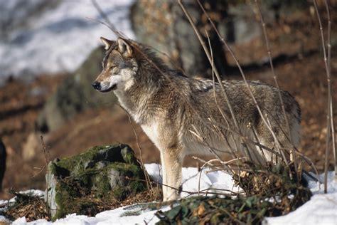 le loupe de bureau la provence le loup bientôt de retour en pays d 39 aix ferus