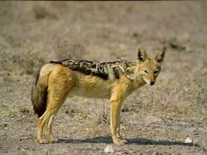 Black-backed jackal | Canids