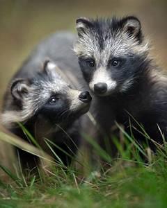 raccoon dogs | help ! | Pinterest