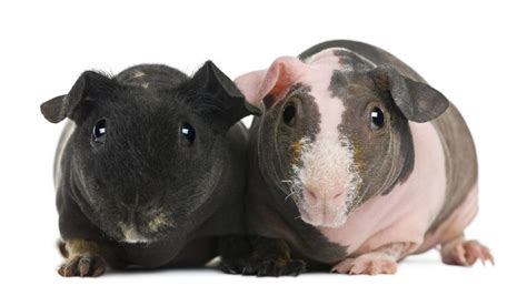 hairless guinea pigs    pet craze mnn mother