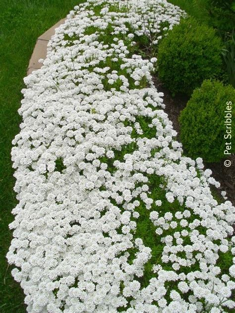 perrenial ground cover candytuft a garden must have gardens perennial ground cover and front steps