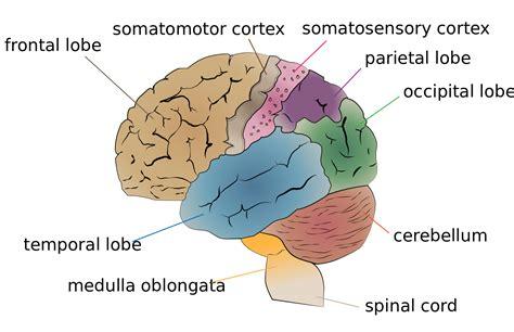 Label Brain Diagram by Diagram Of The Brain