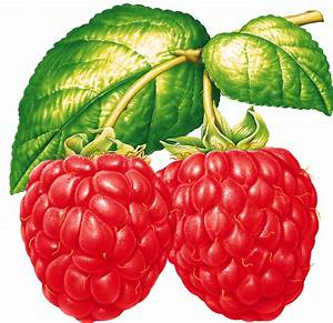 Two Raspberries On Branch transparent PNG - StickPNG