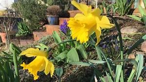 Wann Blühen Narzissen : osterglocken pflanzen und pflegen ~ Eleganceandgraceweddings.com Haus und Dekorationen