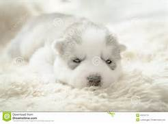 Sleeping Husky Puppy  Sleeping  View Original    Updated on 12 30 2014      Adorable Husky Puppy Sleeping