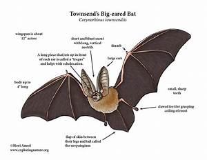 Bat  Townsend U2019s Big