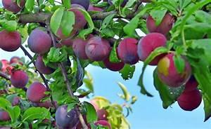 Kirschbaum Richtig Schneiden : pflaumenbaum richtig schneiden garten pflaumenbaum baum und garten ~ Frokenaadalensverden.com Haus und Dekorationen