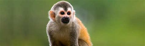 small monkey breeds small monkey breeds