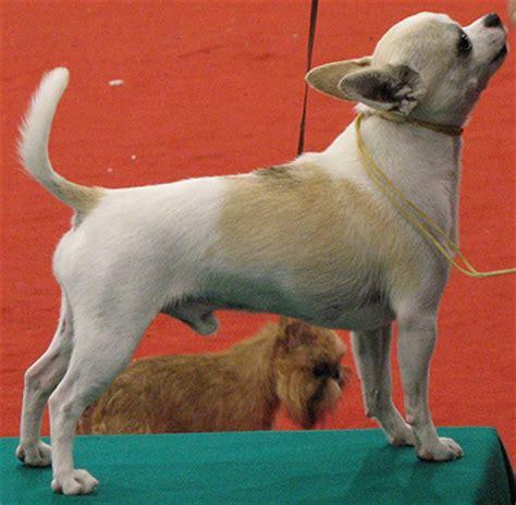 chihuahua dog toy dog breeds  dog encyclopedia