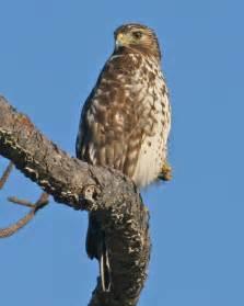Florida Red-shouldered Hawk