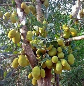 How to Grow Jackfruit | Complete Growing Guide