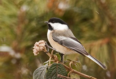 all about birds black capped chickadee