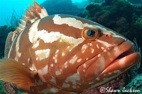 grouper nassau fish eat saltwater underwater