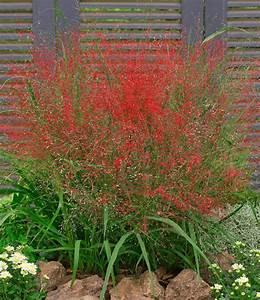 Winterharte Gräser Garten : rotes liebesgras ziergr ser bei baldur garten ~ Michelbontemps.com Haus und Dekorationen