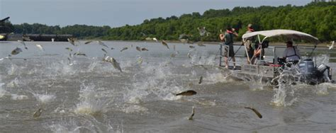 Asian Carp Attack Boat by Attack Of The Flying Invasive Carp Discovermagazine