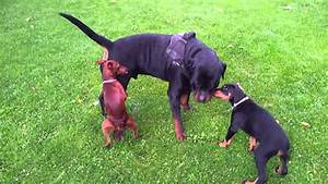 Miniature Pinscher vs Rottweiler - YouTube