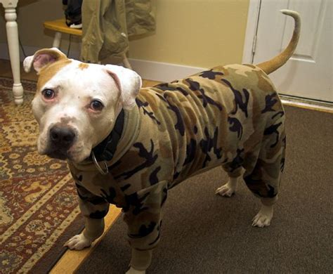 pitbull sweaters pet store johns and pitbull on