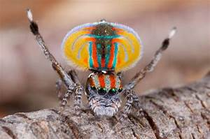 5 Interesting Facts About Flying Peacock Spiders | Hayden ...