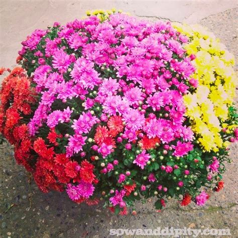 caring for mums how to care for fall mums