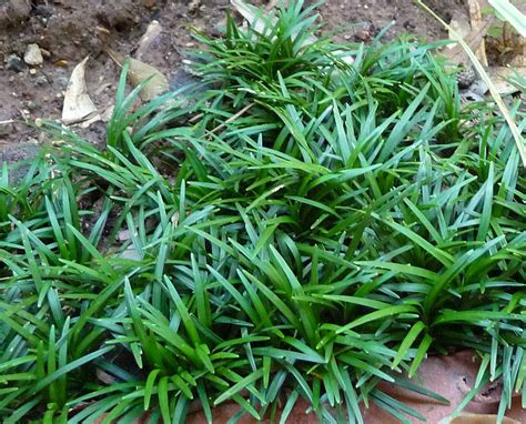 Variegated Grasses That Grow In Shade