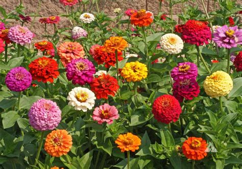 when to plant flowers zinnia dr farrah cancer center