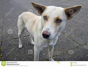 White Dog With Blue Eyes On A Pavement Stock Photo - Image ...