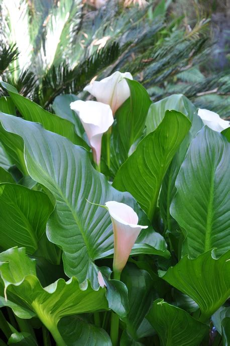 zantedeschia aethiopica bulbs for sale bamboo land nursery and parklands qld australia wholesale and retail