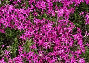Blühende Pflanzen Winterhart : polsterphlox phlox subulata teppichphlox eine robuste ~ Michelbontemps.com Haus und Dekorationen