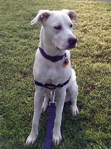 Pin American-bulldog-mix-with-blue-pitbull on Pinterest