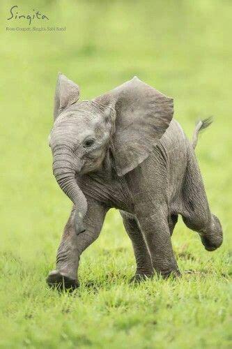 elephants gentle giants images  pinterest