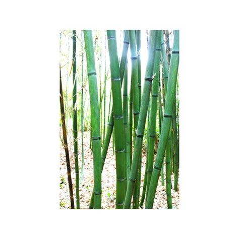 plantez des bambous dans un pot pour parfaire la d 233 co de votre ext 233 rieur e commerce