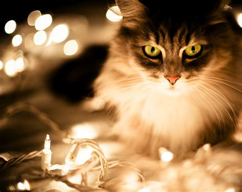 catsparella 20 cats basking in the glow of christmas lights