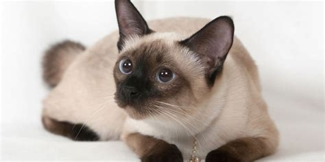 Siamese  Information, Characteristics, Facts, Names