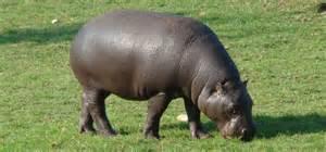 Hippos Eating People The kikuyu people believe that  Hippopotamus Eating People