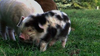 Pig Pigs Piggy Gifs Farm Piglet Piglets