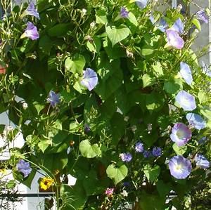 Welche Pflanzen Für Balkon : welche kletterpflanzen sind f r den balkon geeignet ~ Michelbontemps.com Haus und Dekorationen