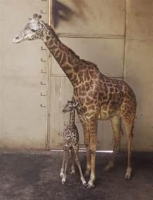 Santa Barbara Zoo Baby Giraffe