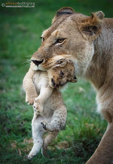 Lions Alisonigieg Wildlife P Ography