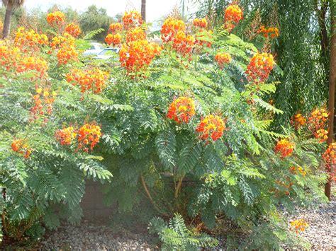Texas Bush Orange Flowers  Tjs Garden