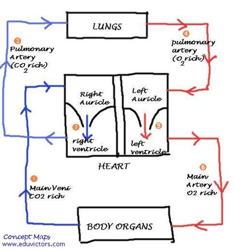 Essay On Pulmonary Circulation by The And Circulation Of Blood Essay